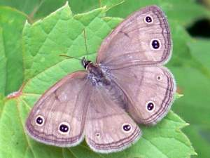 picture of a top view of a Little Wood Satyr butterfly