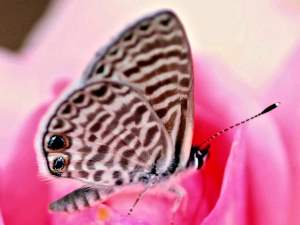 picture of a Marine Blue butterfly