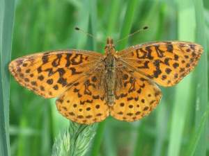 picture of a Meadow Friillary butterfly