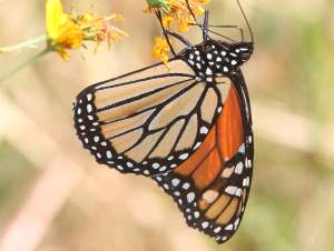picture of a side view of a Monarch butterfly