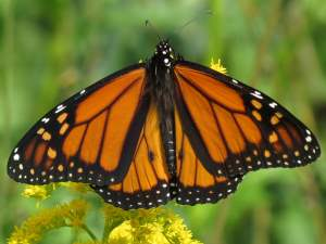 picture of a Monarch butterfly, top view
