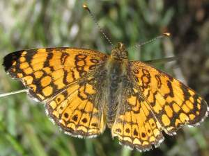 picture of a Mylitta Crescent butterfly