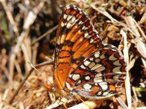 picture of a Northern Checkerspot butterfly