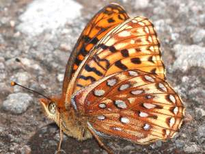 picture of a side view of a Northwestern Fritillary butterfly
