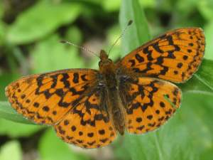 picture of a side view of a Pacific Fritillary butterfly