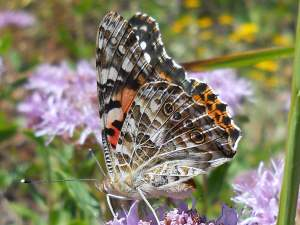picture of a side view of a Painted Lady butterfly