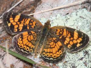picture of a Pearl Crescent butterfly