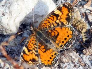 picture of a Phaon Crescent butterfly