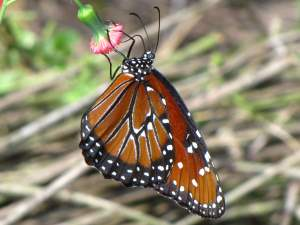 picture of a side view of a Queen butterfly, top view