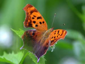 picture of an Question Mark butterfly