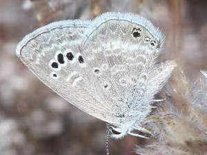 picture of a Reakirt's Blue butterfly