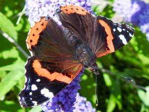 picture of a Red Admiral butterfly