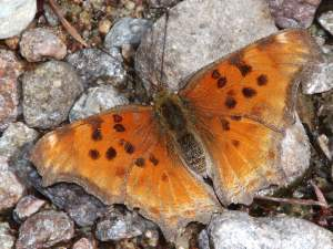 picture of a Satyr Comma butterfly