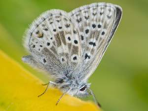 picture of a Sierra Nevada Blue butterfly