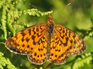 picture of a Silver Bordered Fritillary butterfly