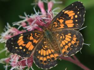 picture of a Silvery Checkerspot butterfly