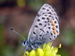 picture of a Square-spotted Blue butterfly