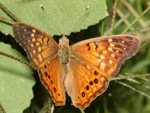 picture of a Tawny Emperor butterfly