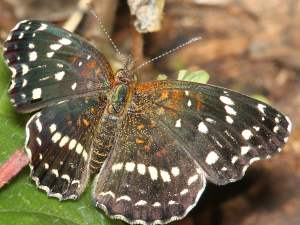 picture of a Texas Crescent butterfly