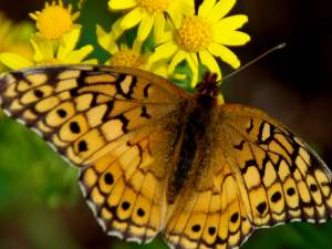picture of a Variegated Fritillary butterfly