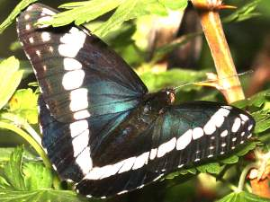picture of a Weidemeyer's Admiral butterfly