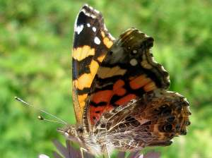 picture of a West Coast Lady butterfly