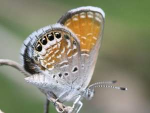 picture of a Western Pygmy Blue butterfly