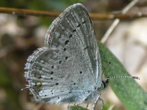 picture of a Western Tailed Blue butterfly