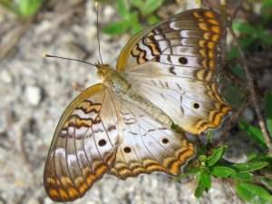 picture of a White Peacock butterfly
