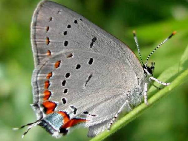 picture of an Acadian Hairstreak butterfly