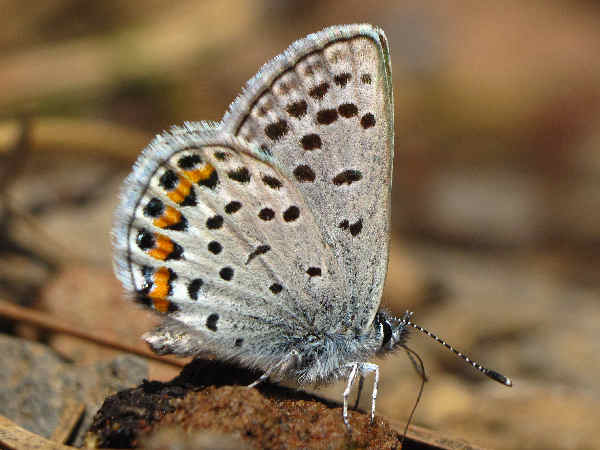 picture of an Acmon Blue butterfly