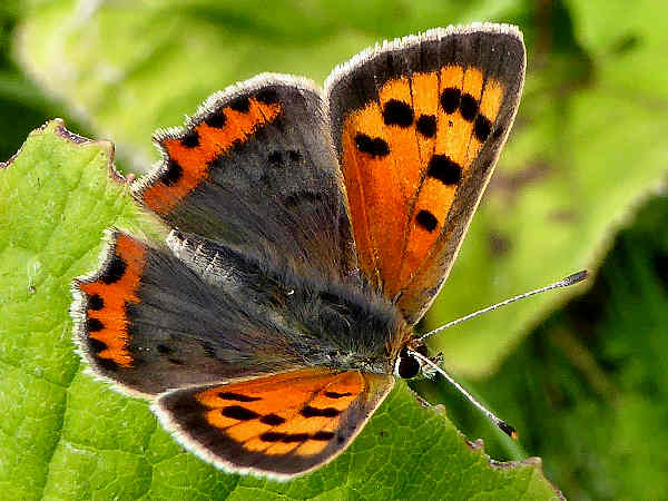 picture of an American Copper butterfly