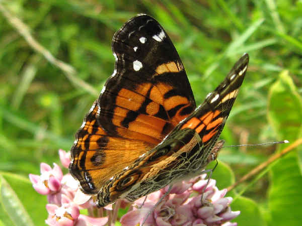 picture of an American Lady butterfly on Milkweed