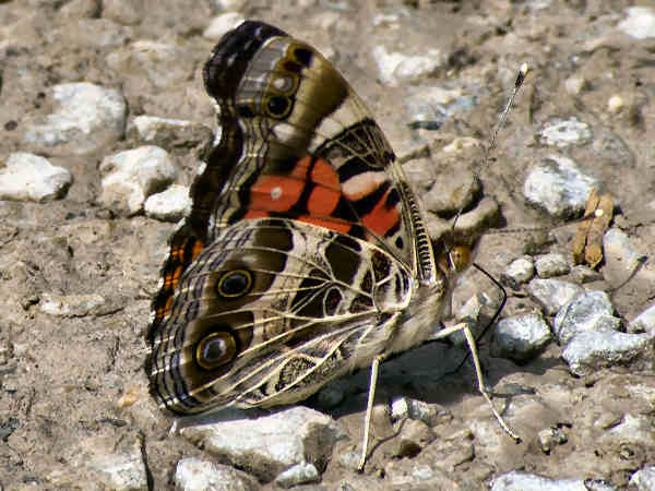 picture of an American painted Lady