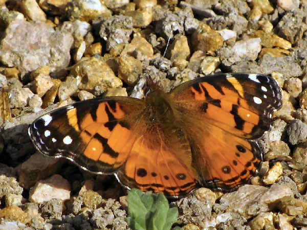 picture of an American Lady butterfly
