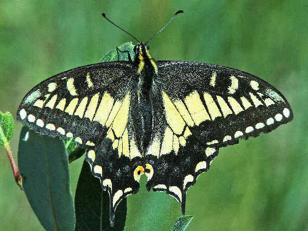 picture of an Anise Swallowtail