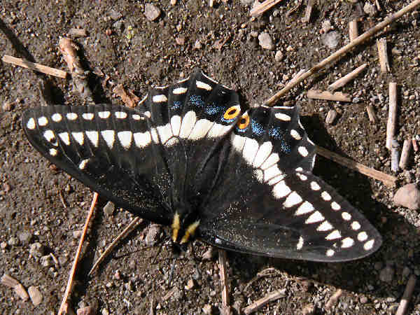 picture of an Anise Swallowtail butterfly