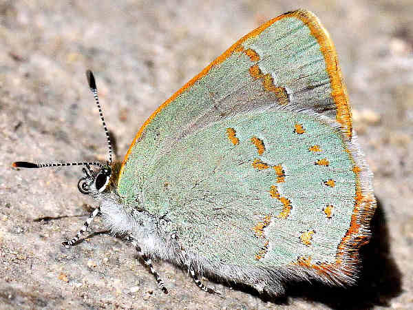 picture of an Arizona hairstreak
