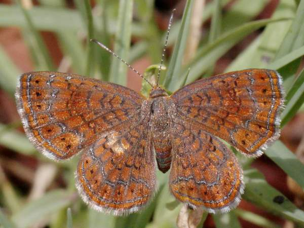 picture of an Arizona Metalmark