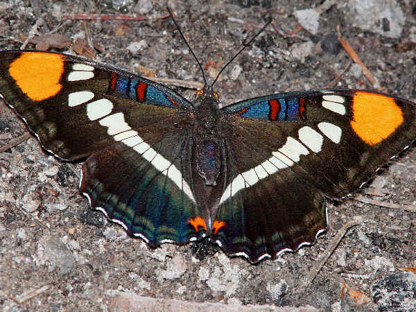 picture of an Arizona Sister butterfly