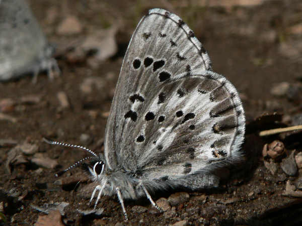 picture of an arrowhead blue butterfly
