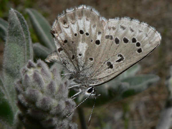 picture of an arrowhead blue butterfly, one of many different types of blue butterflies