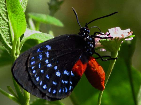 picture of an Atala Hairstreak butterfly