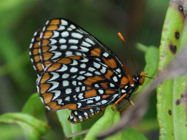 picture of a Baltimore Checkerspot