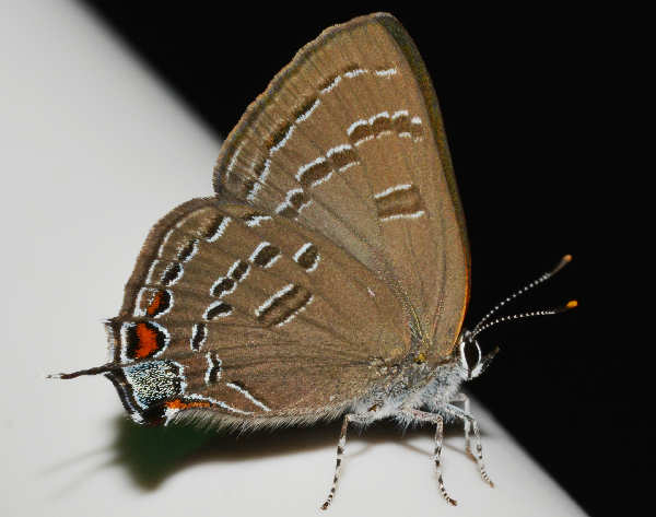 picture of a Banded Hairstreak, credit Andy Rego, Flickr