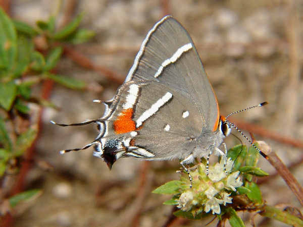 picture of a Bartram's Scrub Hairstreak butterfly