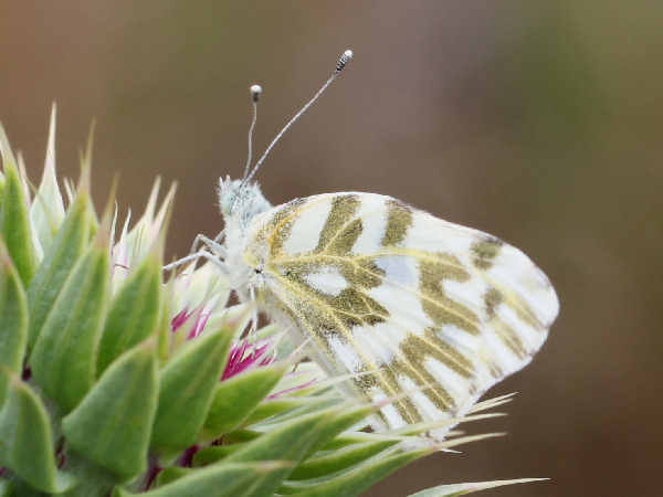 picture of a  Becker's white butterfly