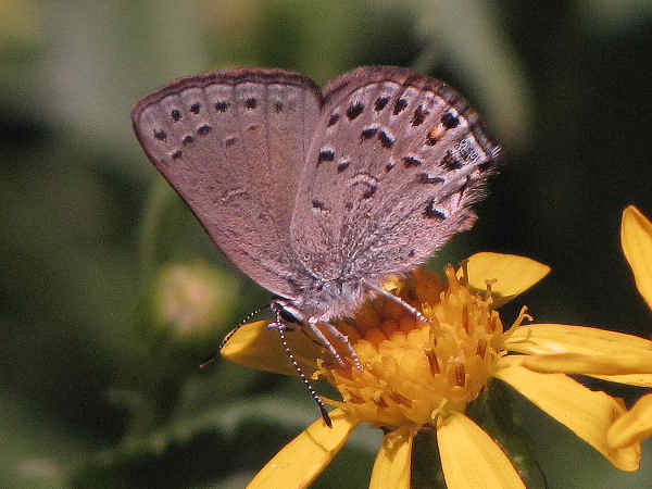 picture of a behr's hairstreak butterfly