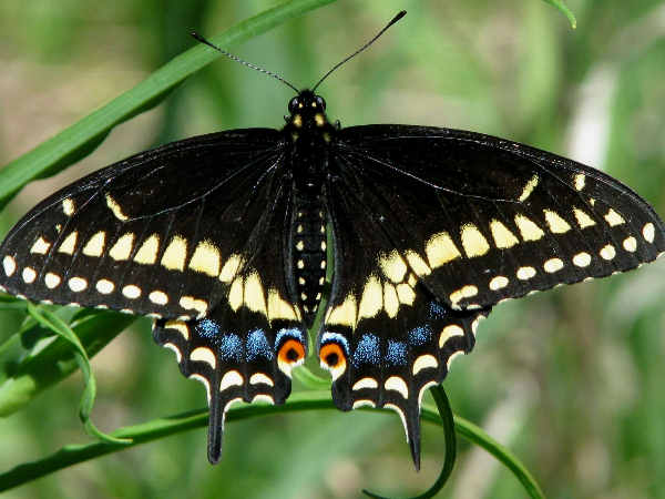 picture of a Black Swallowtail butterfly