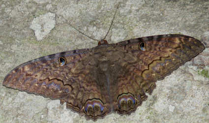 picture of a male black witch moth